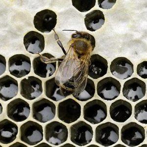 Public Talk: Honey Bees as a Gateway Bug